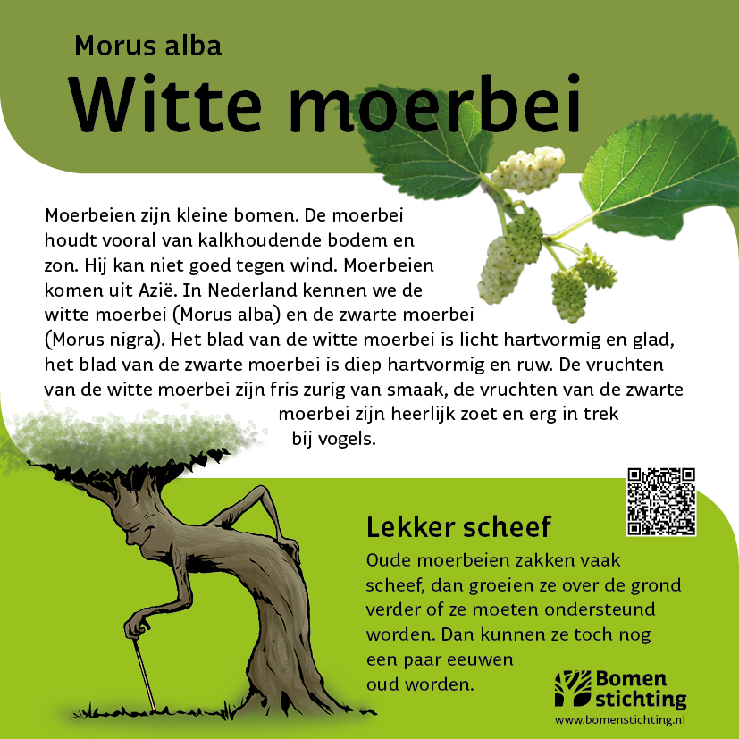 bordje moerbeiwit